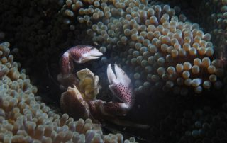 Porcelain Crab 4