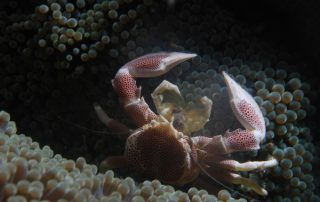 Porcelain Crab 3