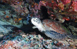 Hacksbill Turtle 2